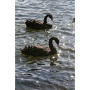 Black Swans, Print and Canvas