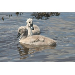Cygnets, Print and Canvas