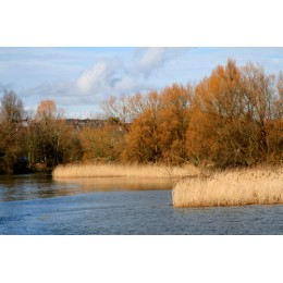 River Itchen - Reeds Beds, Print and Canvas