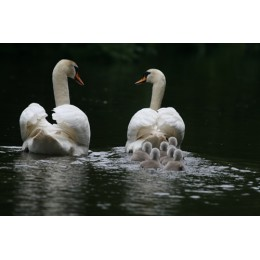 Swans and Cygnets, Print and Canvas